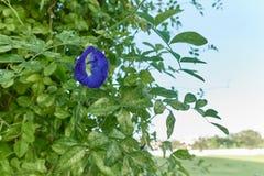 Blomma för ternatea för asiat Pigeonwings eller Clitoriaviolett med himmel royaltyfri fotografi