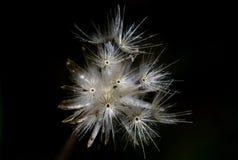 Blomma för torrt gräs för fokus på svart Royaltyfria Bilder