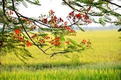 Blomma för träd för Caesalpiniapulcherrimaflamma arkivfoto