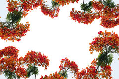 Blomma för träd för Caesalpiniapulcherrimaflamma royaltyfria foton