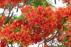 Blomma för träd för Caesalpiniapulcherrimaflamma royaltyfri foto