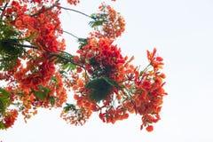 Blomma för träd för Caesalpiniapulcherrimaflamma fotografering för bildbyråer