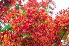 Blomma för träd för Caesalpiniapulcherrimaflamma royaltyfri bild