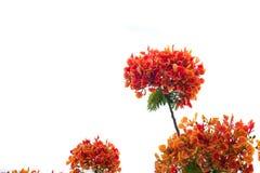 Blomma för träd för Caesalpiniapulcherrimaflamma arkivfoton