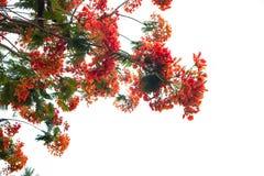 Blomma för träd för Caesalpiniapulcherrimaflamma arkivbilder