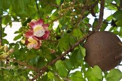 Blomma för träd för kanonboll. royaltyfria foton