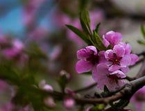Blomma för träd för vår rosa Storen specificerar! Arkivbild