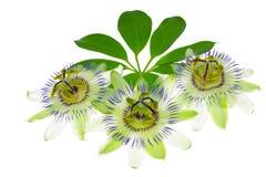 Blomma för tre passionsblomma på ett blad Royaltyfria Foton