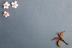 Blomma för tre sakura och liten filial på den blåa rosa bakgrunden Arkivbild