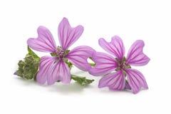 Blomma för två malva Royaltyfri Bild