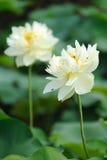 Blomma för två vit lotusblommar Royaltyfri Foto