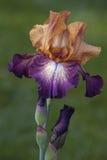 Blomma för tysk iris Royaltyfri Foto
