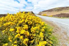 Blomma för Ulex Royaltyfria Foton