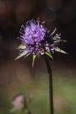 Blomma för vädd för bit för jäkel` s eller för bit för jäkel` s Royaltyfri Foto