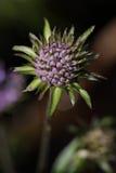 Blomma för vädd för bit för jäkel` s eller för bit för jäkel` s Arkivfoto