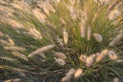 Blomma för växt för Pennisetumpedicellarumogräs Arkivbild
