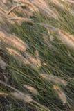 Blomma för växt för Pennisetumpedicellarumogräs Arkivbilder