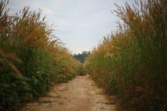 Blomma för växt för Pennisetumpedicellarumogräs i brett fält Fotografering för Bildbyråer