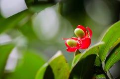 Blomma för växt för Mickey mus röd med dess gräsplanfrö i en vårsäsong på en botanisk trädgård fotografering för bildbyråer