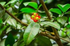 Blomma för växt för Mickey mus röd med dess gräsplanfrö i en vårsäsong på en botanisk trädgård arkivbild