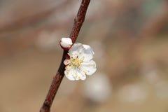 Blomma för vårbakgrund för den körsbärsröda blomningen trädet för varm underbar skönhet för blom det blom- romantisk Arkivfoto