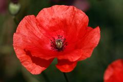 Blomma för vallmo för röda papaverrhoeas röd på sommarfältet arkivfoto