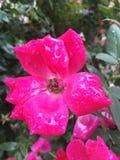 Blomma för varma rosa färger som är våt efter regn Royaltyfria Bilder