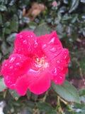 Blomma för varma rosa färger som är våt efter regn Royaltyfri Foto