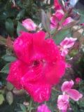 Blomma för varma rosa färger som är våt efter regn Fotografering för Bildbyråer