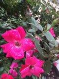 Blomma för varma rosa färger som är våt efter regn Royaltyfri Bild