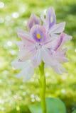 Blomma för vattenhyacint arkivbilder