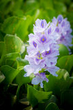 Blomma för vattenhyacint Fotografering för Bildbyråer