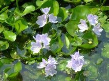 Blomma för vattenhyacint i naturligt vatten i floden fotografering för bildbyråer