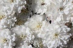 Blomma för vit blomma Arkivbild