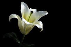 Blomma för vit lilja på den inklusive snabba banan för svart bakgrund Arkivfoto