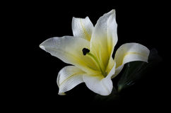 Blomma för vit lilja på den inklusive snabba banan för svart bakgrund Royaltyfri Foto