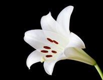 Blomma för vit lilja på svart Arkivbild