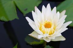 Blomma för vit lotusblomma Royaltyfria Bilder