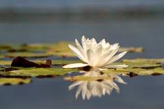Blomma för vit lotusblomma Royaltyfria Foton