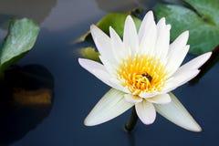 Blomma för vit lotusblomma med honungbiet som blommar i dammet Fotografering för Bildbyråer