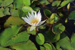 Blomma för vit lotusblomma med sidor royaltyfria bilder