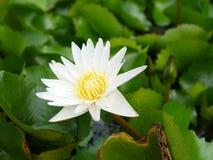 Blomma för vit lotusblomma på en lakeside Royaltyfria Foton