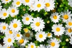 Blomma för vit tusensköna Arkivbilder