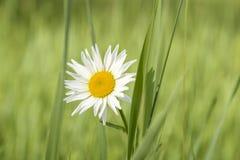 Blomma för vit tusensköna i fältet Arkivfoto