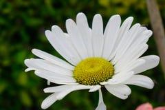 Blomma för vit tusensköna för margarita i vår royaltyfri foto