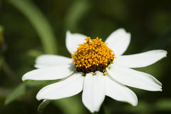 Blomma för vit tusensköna på en våräng Royaltyfri Fotografi