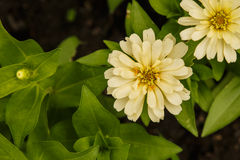 Blomma för vit zinnia Royaltyfria Foton