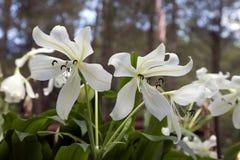 Blomma för vita liljor i en parkera Royaltyfria Foton