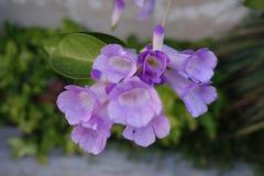 Blomma för vitlökvinranka royaltyfri fotografi