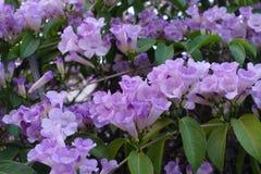 Blomma för vitlökvinranka Arkivfoto